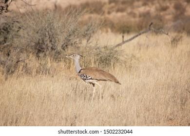 kori bustard, Ardeotis kori, searching for food by walking over the dry grasland savanna