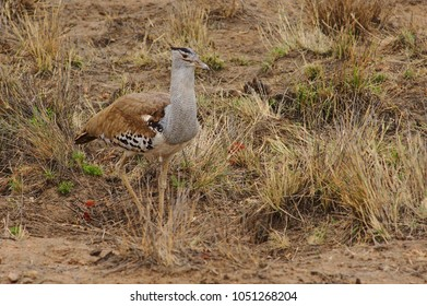 A kori bustard (Ardeotis kori) seeking for preys among the grass. Kruger National Park, South Africa.