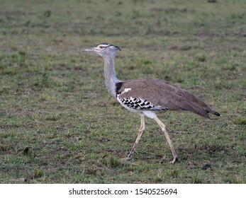 Kori bustard, Ardeotis kori, Single bird on ground, Kenya, September 2019