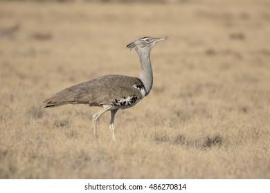 Kori bustard, Ardeotis kori. single bird, South Africa, August 2016