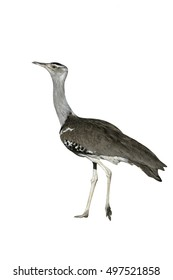 Kori bustard, Ardeotis kori, single bird on groud, Tanzania