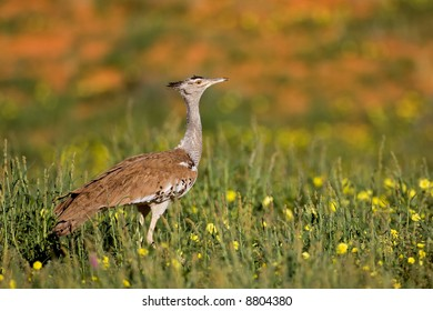 Kori bustard; Ardeotis kori; South Africa