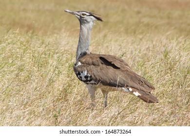 A Kori Bustard (Ardeotis kori) walking in the bush