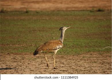 The kori bustard (Ardeotis kori) walking on red hot sand in Kalahari desert. Green grass in background.