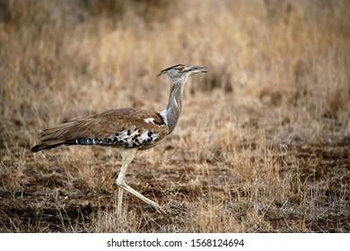 Kori Bustard (Ardeotis kori) Walking on Grass. Satara, Kruger Park, South Africa