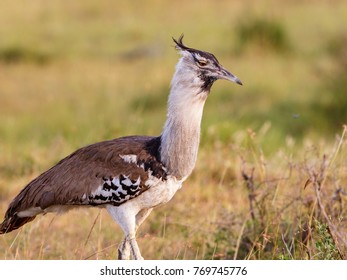 Kori bustard bird on the African savannah