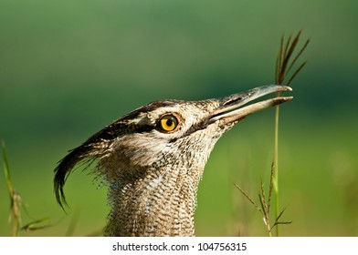 Kori Bustard Close up, Nairobi National Park, Kenya.