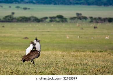Kori Bustard Displaying in Singita Grumeti Reserves, Tanzania.