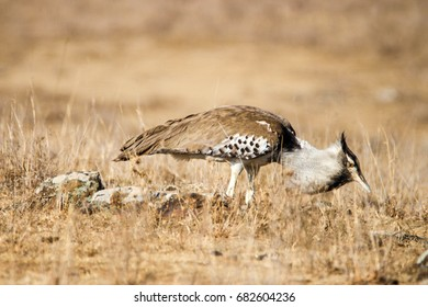 kori bustard eating