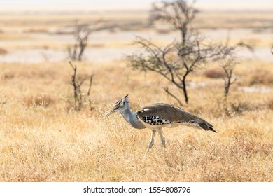Kori bustard found in Etosha National Park in Namibia