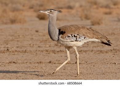 Kori Bustard, Kalahari Desert