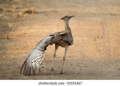 Kori Bustard in Kruger National Park doing wing stretch