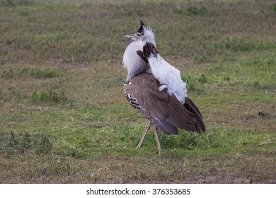 The Kori bustard is the largest flying bird native of Africa. Taken in the Ngorongoro crater of Tanzania.