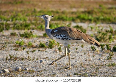 Kori bustard one of the largest flying bird, photographed in the namibian savannah
