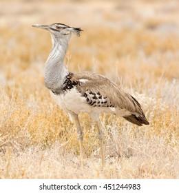 Kori Bustard, seen at safari tour through namibia, southern africa.