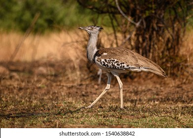 A Kori Bustard strolling meaningfully through an opening in the bush while searching for food