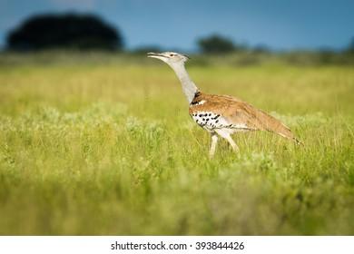 Kori bustard at sunset and talking on the grass of the Kalahari, Botswana