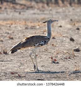 A Kori Bustard walkiing in Southern African savanna