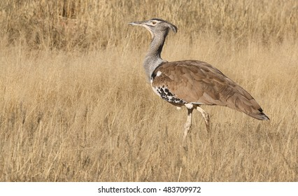 Kori Bustard walking about