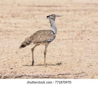 A Kori Bustard walking  in Namibian savanna