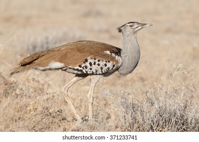 Kori Bustard walking on the African plains