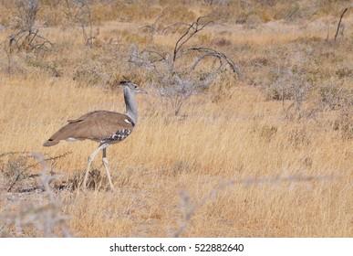 A kori bustard walking through the plains in Namibia Africa