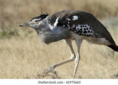 Kori bustard: the world's heaviest flying bird, Serengeti National Park, Tanzania, East Africa