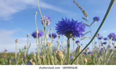 Kornblume auf einer Wiese im Sommer