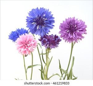 Kornblume; Centaurea; cyanus; Ackerpflanze, Heilpflanze