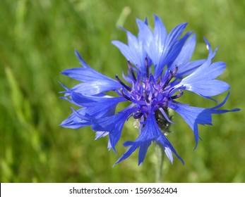 Kornblume, Einzelblüte, Wiese, blau, Sommerblume