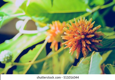 Korth cottage flowers, (Kratom flower) that grow on the tree's natural growth objectives.