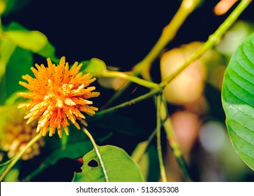 Korth cottage flowers, (Kratom flowers) growing in nature are addictive and medical.
