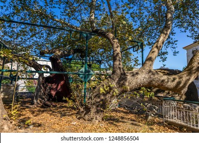 Kos, Greece - July 16, 2018. The Tree of Hippocrates, a tree under which Hippocrates of Kos taught his pupils the art of medicine. Square of the Platane, Kos, Greece.