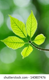 Koshiabura Japanese mountain herb.