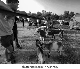 KOSIV, UKRAINE - July 25. 2015: Young man leans on a fence and looking at selling their goats and calves on domestic animals market in the town of Kosov, Ivano-Frankivsk Oblast, Ukraine