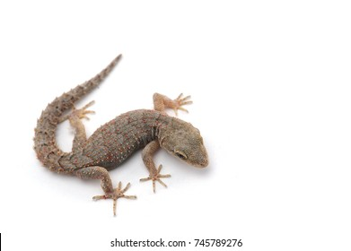 Kotschy's gecko isolated on white background