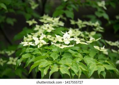 Kousa dogwood (Japanese flowering dogwood)