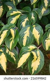 Kousa dogwood leaves (Cornus kousa or Benthamidia kousa)