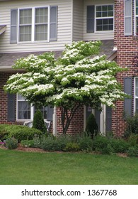Kousa Dogwood Tree in Bloom, PA