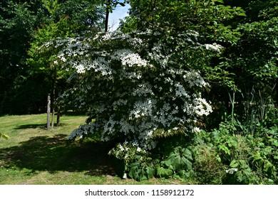 Kousa Dogwood Tree, Cornus Kousa, Benthamidia japonica.  .