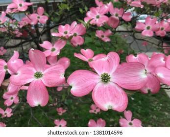 Kousa Dogwood, Tree Pink Flowers