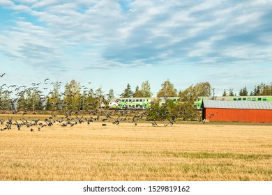 Kouvola, Finland - 25 September 2019: A big flock of barnacle gooses is sitting on a field and flying above it on train background. Birds are preparing to migrate south.