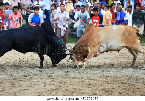 KRABI, THAILAND - November 16 : Hundreds of spectators cheer on during a cow fighting match on November 16 , 2012 in Krabi, Thailand.
