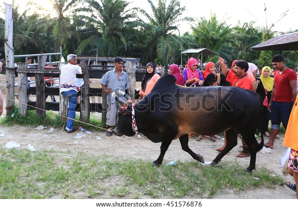 KRABI, THAILAND - November 16 :  Owners and trainers prepare a cow before a fighting of cow fighting competition begins on November 16 , 2012 in Krabi, Thailand.