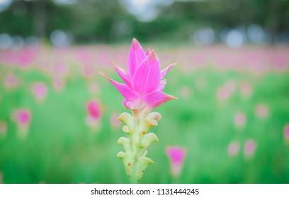 Krachai flower national park Chaiyaphum Province Thailand