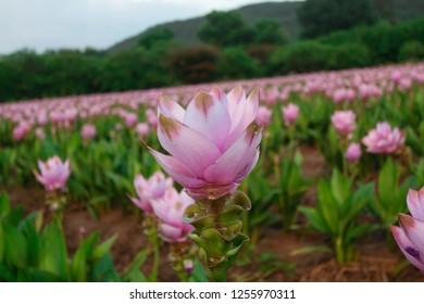 Krachai flower or  Siam tulip flower in garden