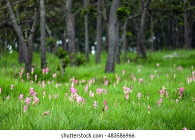 Krajeaw flower festival, Sai Thong National Park, Chaiyaphum Province, Thailand