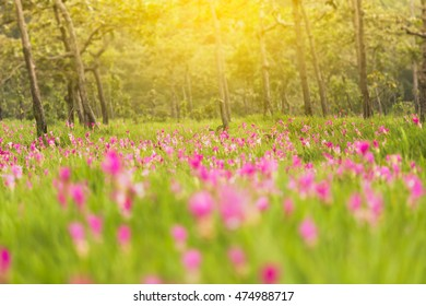 Krajeaw flowers field or Thai Tulip field at Sai thong national park with sun set filter, Thailand