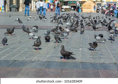KRAKOW, POLAND - August 7, 2016: Pigeons on the main square in Krakow. Poland