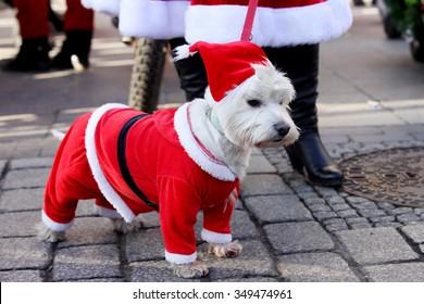 KRAKOW, POLAND - DECEMBER 6: Santas participate in the International Santa Claus motorcycle parade on Dec.6, 2015 in Krakow , Poland. Dog dressed as Santa Claus